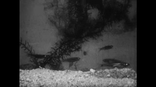 1950s: Minnows swim around pond, large fish eats minnow. Fish swim around.