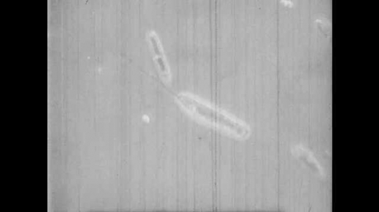 1950s: UNITED STATES: moving organism in sample of water. Close up of microscopic organism swimming
