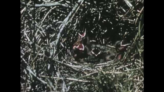 1950s: Close up of baby birds in nest. View of eggs in nest. Long shot of bird walking through grass.