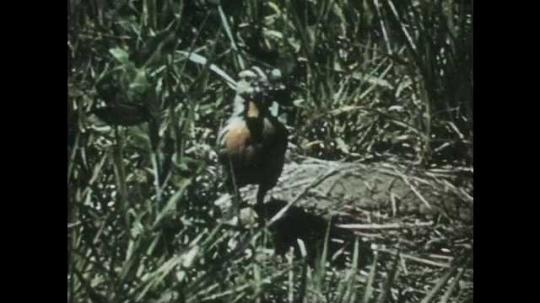 1950s: Close up of bird in grass. Bird in grass. Bird feeds babies in nest.