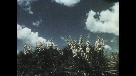 1950s: Low angle view of yucca plants. Long shot of prairie dogs on mounds. Prairie dogs in field.