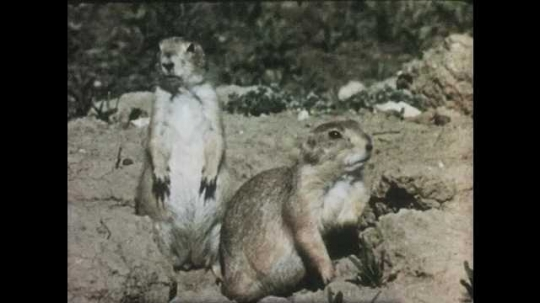 1950s: Prairie dogs run into hole. Long shot, skunk walks through field. Owl in field, dives into hole.