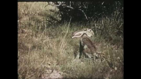 1950s: Jackrabbit running. Jackrabbit in field. Jackrabbit runs off screen. Tilt up field of flowers.