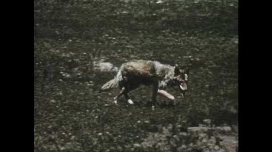 1950s: Coyote walking through field. Skunk eating mouse. Long shot of coyote walking.