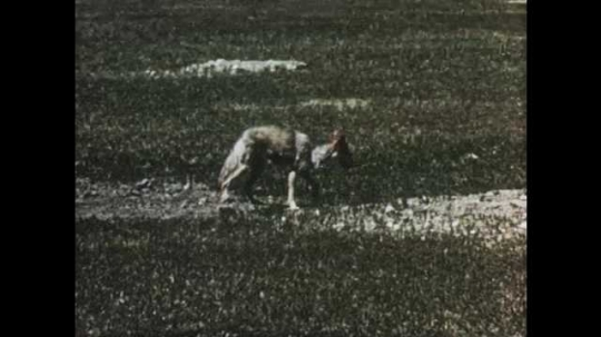 1950s: Views of coyote running through field. Long shot of antelope herd on hill. Antelope on top of hill.