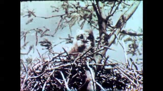 1950s: A great horned owl sits in a nest in tree, the wind blows. Empty desert landscape with mountain range in background and clouds in the sky.