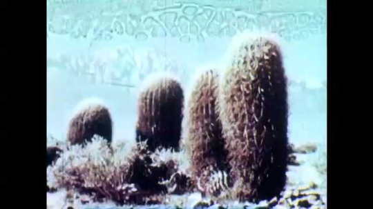 1950s: Barrel cactus in the desert with mountains in background. Desert tortoise walks into water stream. Tortoise eats plant.