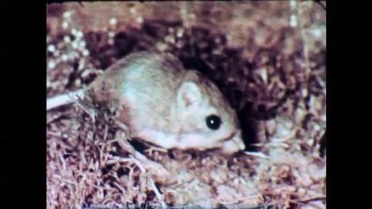 1950s: Kangaroo rat eats and moves. Flower. Road runner moves on the ground. Lizard moves towards vegetation. Plants. Baby birds in nest on cactus. Desert vegetation. Joshua tree silhouette at sunset.
