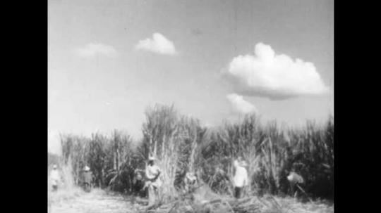 1940s: Slaves harvest sugar cane in field. Plantation house.
