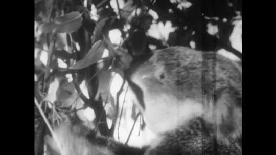 1940s: Koala eats eucalyptus leaves. Children walk through koala park. Children stare at tree.