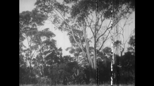 1940s: Eucalyptus tree waves in breeze. Koala in eucalyptus tree. Koala eats leaves in eucalyptus tree.
