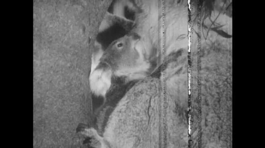 1940s: Baby koala buries head into mother koala. Baby koala crawls into mother koala