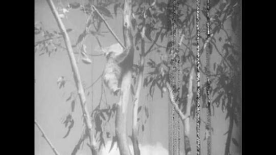 1940s: Koala climbs to top of eucalyptus tree. Koala climbs to end of limb.