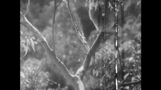 1940s: Mother koala carries baby on back. Mother koala climbs down tree. Mother and baby koala snuggle on tree branch.