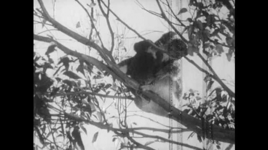 1940s: Mother and baby koala cling to bare branches. Mother carries baby koala up branch.
