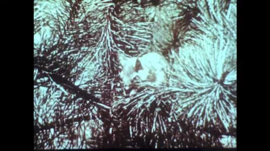 1960s: Squirrel in pine tree. Meadow, grasses blowing in wind. Lily pads in pond. Underwater root system of lily pads.