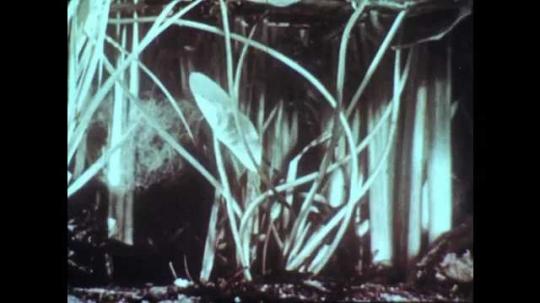 1960s: Underwater plants. Utricularia (bladderwort) plant on surface of water. Detail of bladderwort. Small aquatic animals trapped in bladderwort structure.