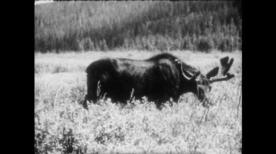 1940s: Moose wanders through grassland, eating plants. Young moose is eating plants. Adult and young moose are eating plants. Young moose is eating plants.