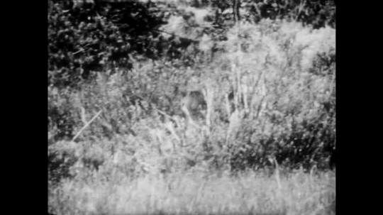 1940s: Adult and two young moose wander through valley. Moose is in water drinking. Moose