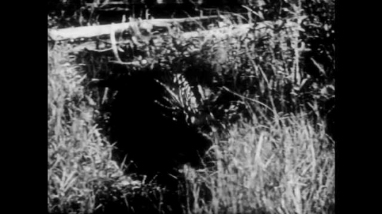 1940s: Beaver walks through wetland. Beaver is eating food from stick in water.