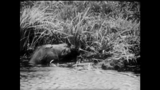 1940s: Beaver in wetlands swims out from shore. Elk wander across grassy valley.
