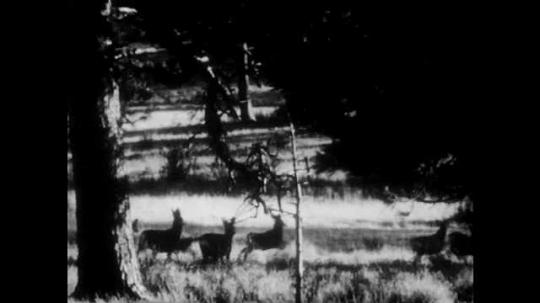 1940s: Group of elk run across grassy field. Elk graze under tree. Wolf looks around.