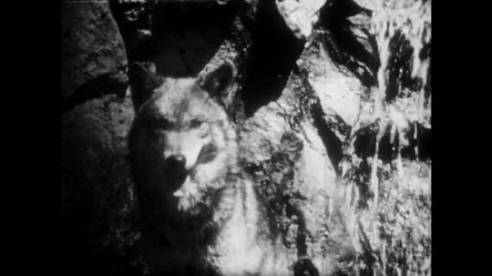 1940s: Wolf sits next to waterfall. Cougar sits on platform, growling. Porcupine walks on ground.