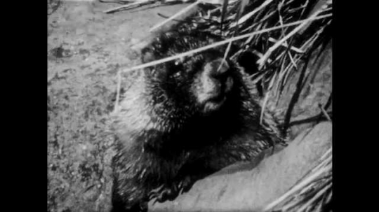 1940s: Marmot sits in hole on grassy hillside. Mountains.
