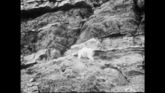 1940s: Mountain goats climb mountainside. Group of rams wander up hillside.