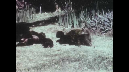 1950s: Mother dog plays with group of puppies. Boy sits on lawn and watches puppies eat. Puppies eat from bowl. Boy puts puppy in his lap. Boy stands  up and runs.