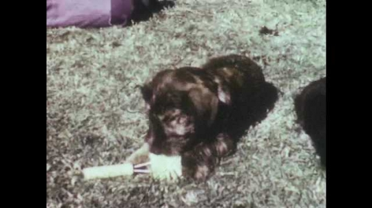 1950s: Puppy chews on scrub brush. Boy takes scrub brush away from puppies. Boy combs puppy. Man approaches boys and puppies on lawn.