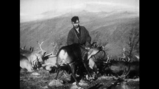 1950s: FINLAND, EUROPE: man catches reindeer in herd. Close up of man