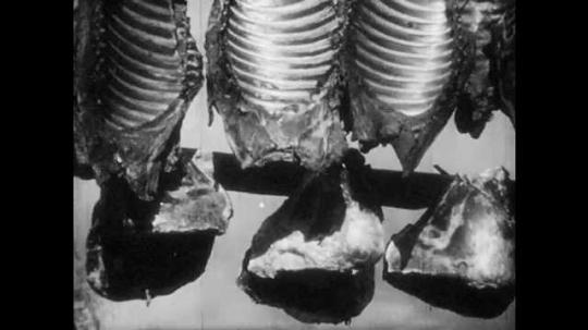 1950s: FINLAND, EUROPE: reindeer bone hangs in sun. Man cuts meat from bones. Man ties tendons on willow wood.