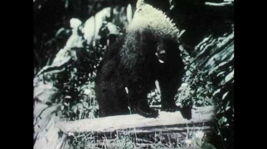 1950s: Black bear.  Illustration is labelled