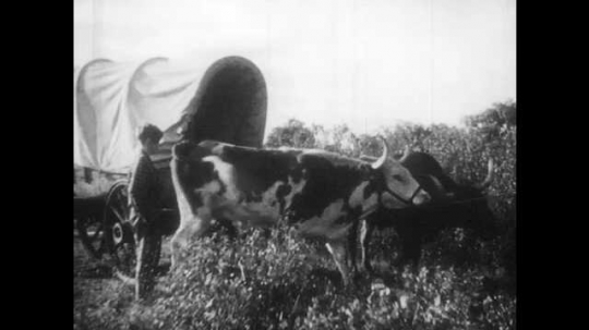 1940s: Boy watches cow walk into field, boy walks over to wagon. Woman tends to pot over fire. Man leads bulls down to river to drink. Boy climbs in back of wagon, man ties up cow.