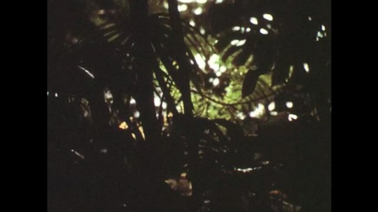 1950s: View of tropical forest. Close up of iguana.
