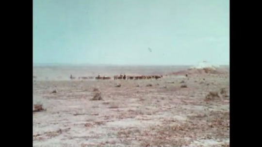 1970s: Cowboys drive cattle across desert plain. Cowboy and horses pull covered wagon. Cowboys drive cattle. Cowboy scratches face and nods.