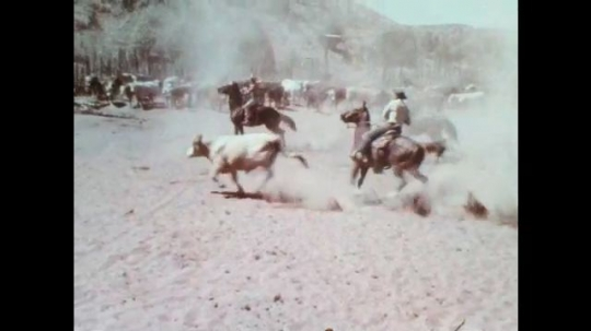 1970s: Cowboys on horseback corral and drive cattle together. Cowboys on horseback chase down stray cows.