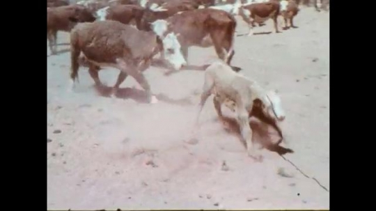 1970s: Rope drags calf through corral. Cowboys wrestle large calf to the ground. Cowboy ties calf