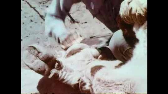 1970s: Hands saw through calf's horns. Cowboy holds calf to ground for vaccination. Hands push needle into calf's hide. Cowboy uses needle to vaccinate cow. Woman in hat winces.