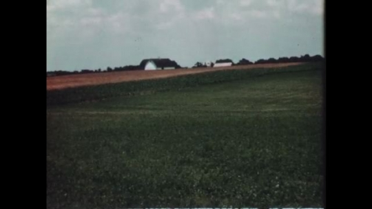 1940s: Farm with green fields. Field and trees. Cows eat grass.