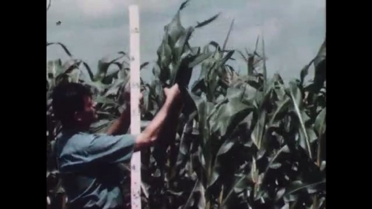 1940s: Man measures corn plants. Man inspects corn leaves on dry soil.
