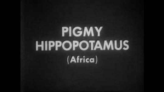 1940s: Pygmy hippopotamus walks around enclosure, sniffs ground.