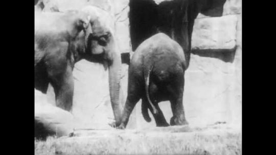 1940s: Indian elephant walks around enclosure. Elephant eats hay with trunk.