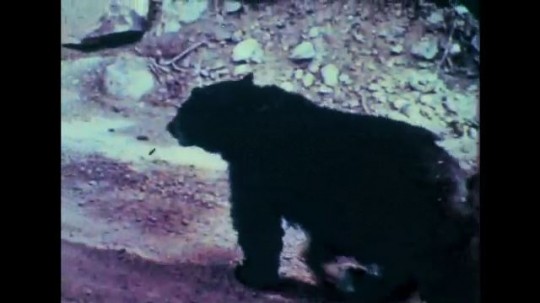 1950s: Bear walks through forest. Man fires gun. Dog in field. Men walk toward house with dog.