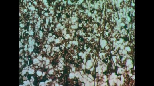 1950s: Cotton field. Men on tractors harvest hay. Men store haybales. Cattle eating. Workers harvesting carrots.