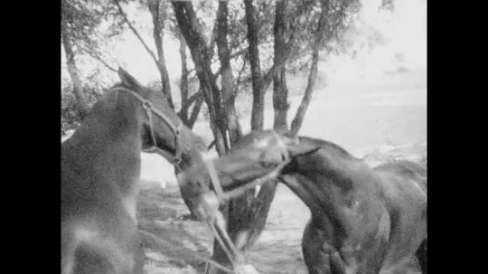 1940s: Views of tethered horses fighting. Man and woman with small girl. Girl walking in field. Girl walks with man.