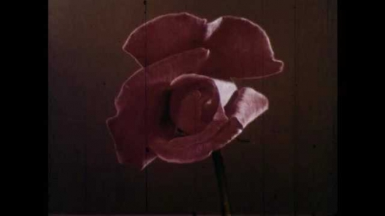 1950s: Time-lapse of rose petal growing, opening. Poppy field with mountains in background.