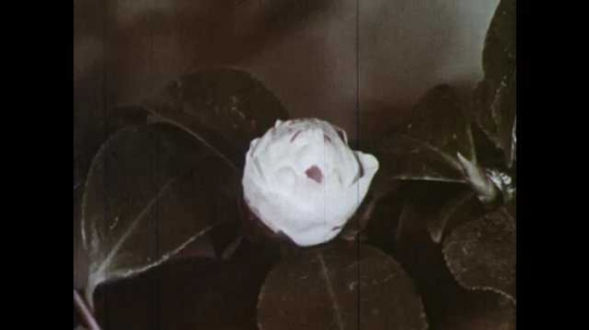 1950s: Time lapse of camellia bud growing. Flower growing and expanding.