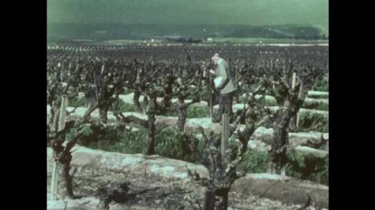 1970s: Man in suit walks through grape vineyard, looks at grapevines.